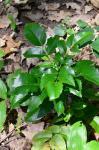 Gewöhnliche Mahonie-Mahonia aquifolium