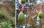 : - Beschorneria albiflora