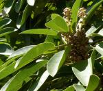Lorbeerblatt - Daphniphyllum macropodum