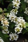 : - Hydrangea quercifolia