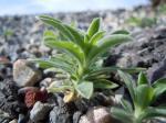 Sommerzypresse-Kochia scoparia