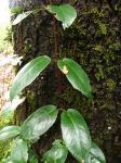 : - Hydrangea serratifolia
