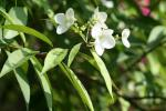 : - Hydrangea chinensis