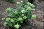 Baumartige Hortensie - Hydrangea arborescens