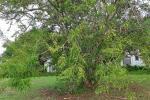 :-Phyllanthus emblica
