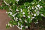 Schmetterlings-Gardenie-Tabernaemontana divaricata
