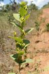 : - Cissampelos ovalifolia
