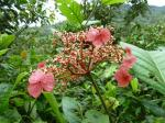 : - Hydrangea peruviana