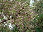 : - Daphniphyllum calycinum