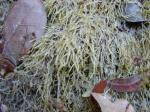 : - Catagoniopsis berteroana