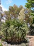 : - Nolina longifolia