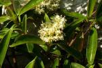 : - Decumaria sinensis