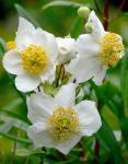 : - Carpenteria californica