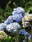 : - Hydrangea macrophylla var. macrophylla