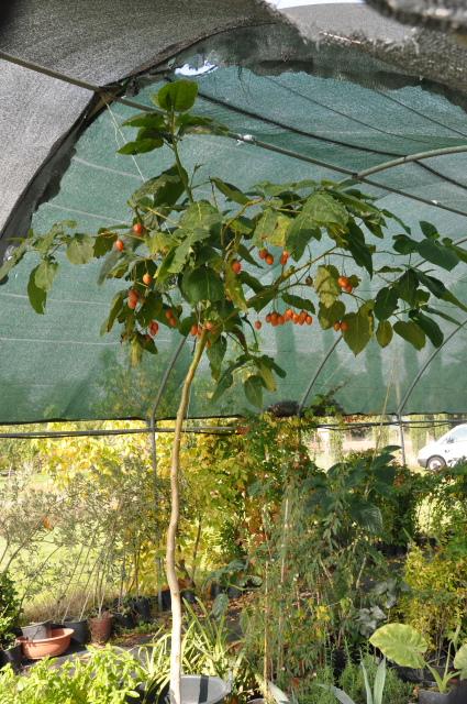 Тамарилло выращивание фото 37