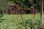 : - Beschorneria septentrionalis