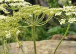 Wiesen-Bärenklau-Heracleum sphondylium