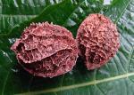 : - Calatola costaricensis