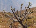 : - Austrocylindropuntia subulata subsp. exaltata